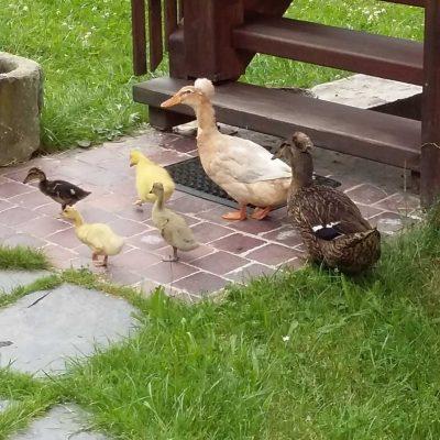 Unsere Enten und Hühner laufen unbekümmert auf dem Hof herum. Wenn die Mama Ente die kleinen Entchen hat, ist das ein besonderes Entzücken.