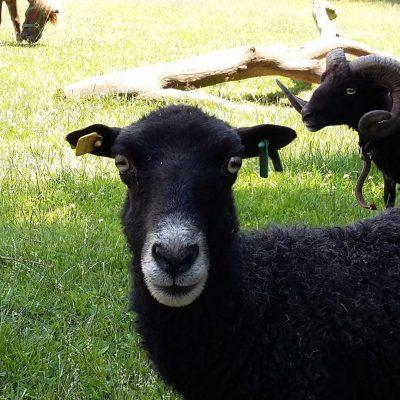 Unsere schwarzen Schafe sind zutraulich und freuen sich über Streicheleinheiten.